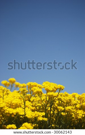 Yellow flowers over blue sky with copy space.