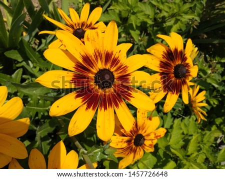 Yellow flowers. Sunshine wether. Big daisies #1457726648