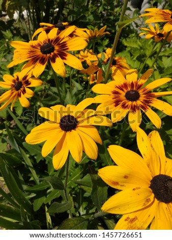 Yellow flowers. Sunshine wether. Big daisies #1457726651