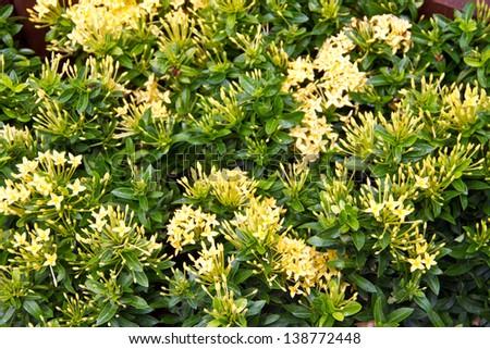 Yellow flowerswest indian jasmineientific name ixora chinensis yellow flowerswest indian jasmineientific name ixora chinensis lamk mightylinksfo