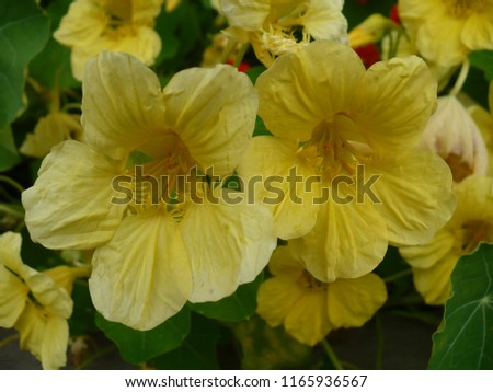 Free photos yellow flower 5 petals avopix yellow flowers with five petals on green background 1165936567 mightylinksfo