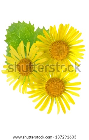 Yellow flowers with green leaf isolated on white background