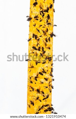 Yellow flypaper (fly ribbon or fly strip) with dead flies on it.