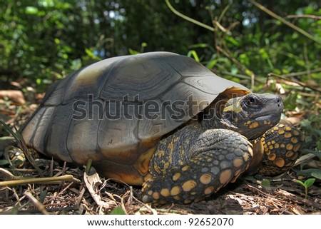 Yellow Footed Amazon Tortoise (Geochelone denticulata) in the WILD in the Peruvian Amazon