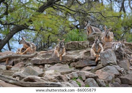yellow footed rock wallabies