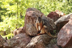 Yellow-footed rock-wallaby kangaroo ( Petrogale xanthopus ) hiding in red rocks