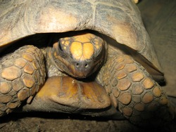 Yellow-footed tortoise (Chelonoidis denticulata), also known as the Brazilian giant tortoise, Testudinidae family. Amazon rainforest, Brazil