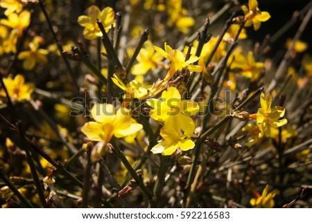 Free photos bush forsythia with yellow flowers in early spring yellow forsythia flowers early spring background 592216583 mightylinksfo
