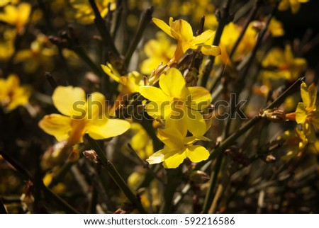 Free photos bush forsythia with yellow flowers in early spring yellow forsythia flowers early spring background 592216586 mightylinksfo