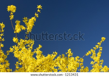 yellow forsythia in full bloom against a clear blue sky