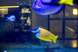 Yellow foxface rabbitfish with blurred background.Foxface Rabbitfish ,Siganus Vulpinus, tropical fish in aquarium.Colorful reef fish in Aquarium.