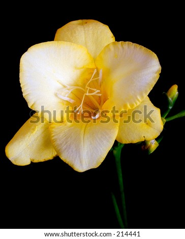 yellow freesia detailed