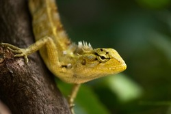 Yellow Garden Lizard or Indian Garden Lizard. Calotes calotes, detail eye portrait of exotic tropical animal in green nature habitat in india isolated on green nature background.