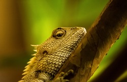 Yellow Garden Lizard or Indian Garden Lizard. World Lizard Day. Detail eye portrait of exotic tropical animal in green nature habitat in india isolated on green nature background.