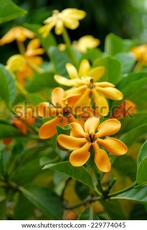 yellow gardenia flower, Gardenia carinata Wallich