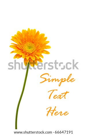 Yellow Gerber isolated for text and background