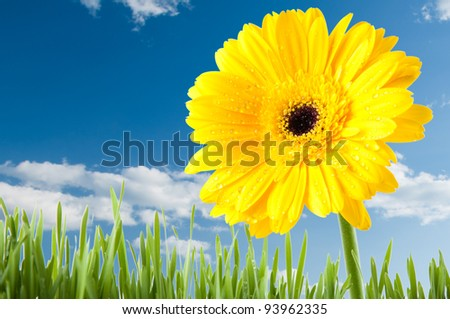 Yellow Gerbera and green lawn over clear blue sky