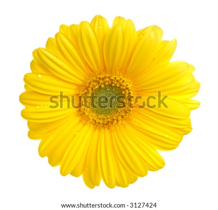 Yellow gerbera (daisy). Picture was made in a studio.