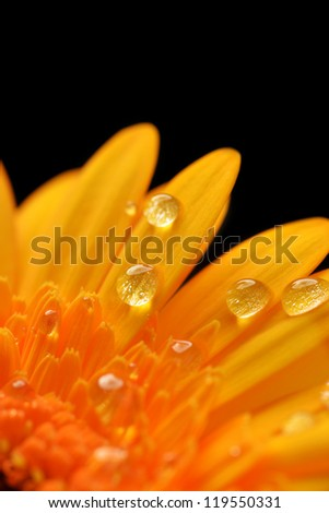 yellow gerbera flower close up  background
