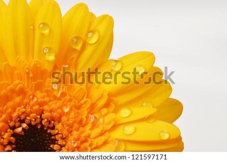 yellow gerbera flower close up  background