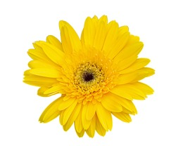 Yellow gerbera flower isolated on a white background with clipping path. - Image