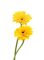 yellow gerbera flower, Isolated on white background