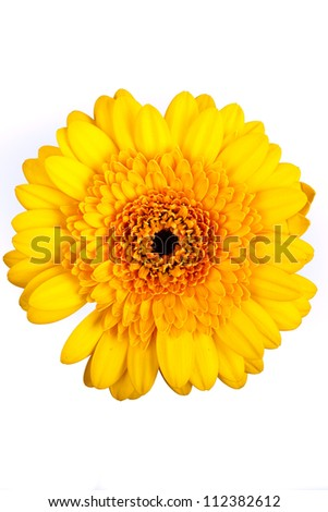 yellow gerbera flower on a white background