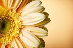 yellow gerbera flower on yellow gradient background