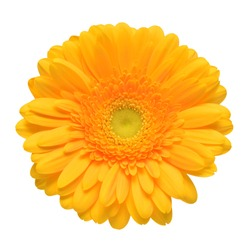 Yellow gerbera head flower isolated on white background. Calendula officinalis, marigold. Flat lay, top view