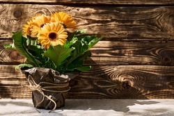 Yellow gerbera in a flower pot wrapped in brown recycled paper on dark wooden background in a sunny spring day.