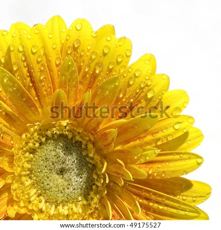 Yellow Gerbera in bright winter sunlight