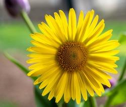Yellow Gerbera jamesonii close up background yellow beautiful flower with macro details