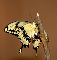 Yellow giant swallowtail butterfly on a limb.