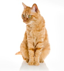 yellow ginger tiger cat pet isolated