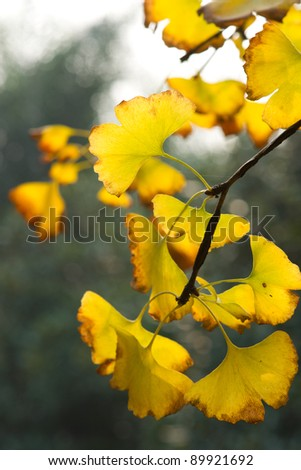 Yellow ginkgo leaf in autumn