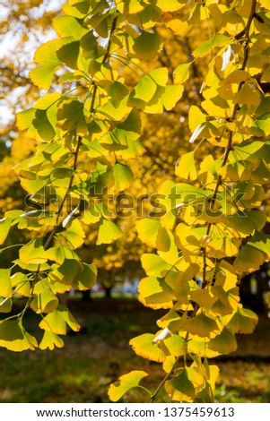 Yellow ginkgo leaves  #1375459613