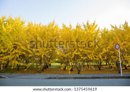Yellow ginkgo leaves  #1375459619