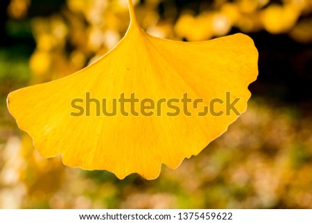 Yellow ginkgo leaves  #1375459622