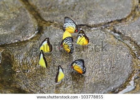 Yellow Glassy Tiger Butterflies, Butterfly Park, Kuala Lumpur, Malaysia