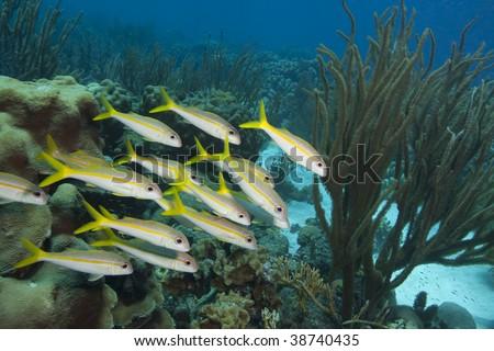 Yellow Goatfish (Mulloidichthys martinicus) school with a single Smallmouth Grunt (Haemulon chrysargyreum) (rear left) over a coral reef.