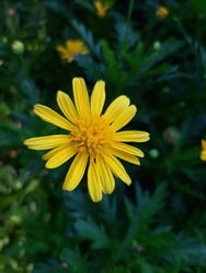 Yellow Golden Aster like tiny beautiful daisy flower Closeup in garden for wallpapers