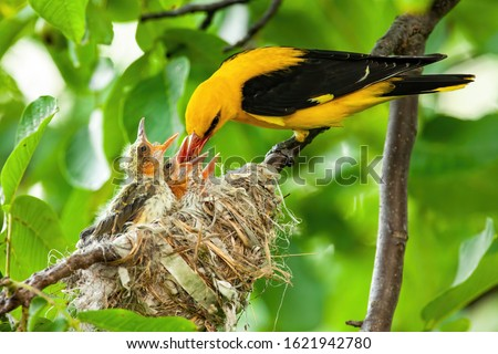 Yellow golden oriole, oriolus oriolus, feeding its younglings on nest in green tree in summer. Parent animal passing nutritious food to hatchlings. Concept of animal family and love. Stockfoto ©