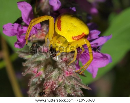 Yellow  Goldenrod crab spider  female on a flower caught a fly  / (Misumena vatia)