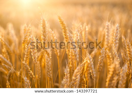 Yellow grain at sunset ready for harvest growing in a farm field