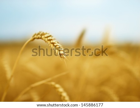 Yellow grain ready for harvest #145886177