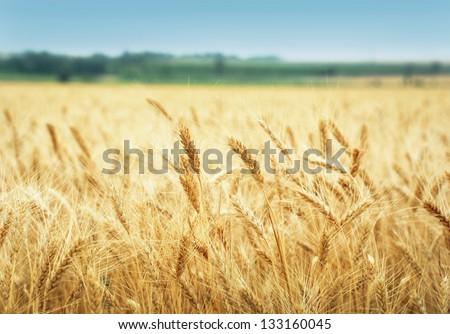 Yellow grain ready for harvest growing in a farm field #133160045