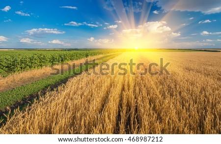 Yellow grain ready for harvest growing in a farm field #468987212