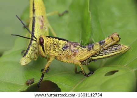 yellow grashopper cubs #1301112754