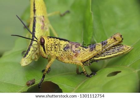 yellow grashopper cubs #1301112754