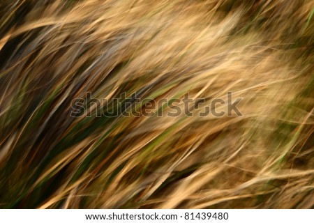 yellow grass in the wind